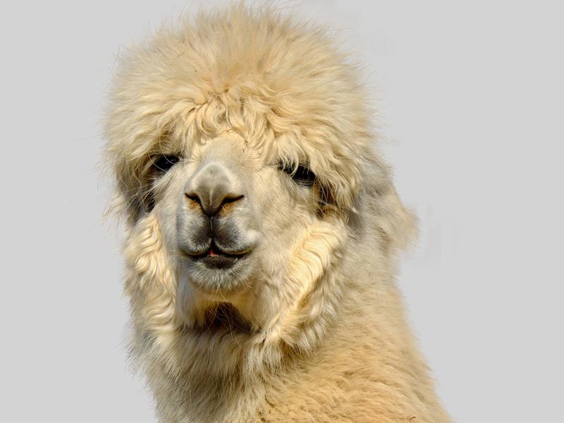 Dieses Foto zeigt ein Alpaka. Es steht für das Thema Frisur für den großen Auftritt.