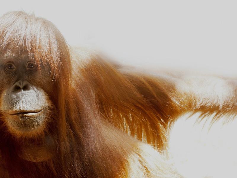 Diese Fotos zeigt einen Affen und steht für das Thema: Öfters mal zum Affen machen, wie Sie mit Powerposen mehr Erfolg haben.